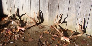 This is a pair of trophy Columbia Blacktails that were killed out of season in the Willamette Valley in Oregon.